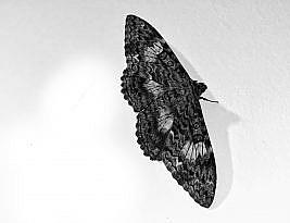 Não tenho jardim, mas as mariposas me visitam mesmo assim