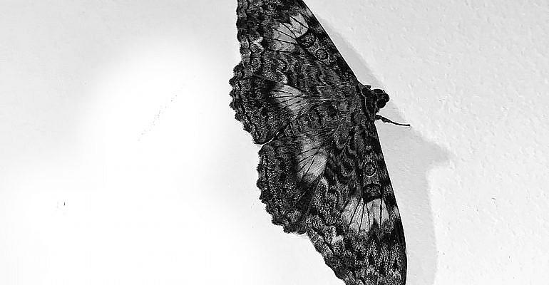 Mariposas e mariposa bruxa